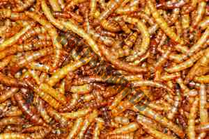 Mehlwürmer werden von Anglern gerne als Köder eingesetzt.