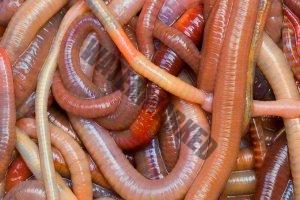 Regenwürmer aus dem eigenen Garten sind kostenlos und effektiv.